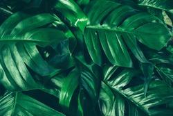 tropical jungle foliage, dark green leaf nature background