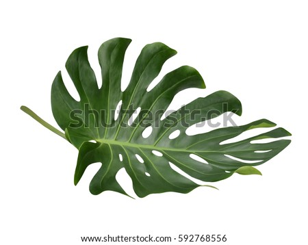 Tropical Jungle Leaf, Monstera, resting on flat surface, isolated on white background, also called Swiss Cheese plant #592768556