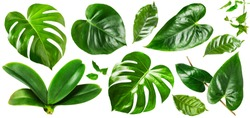 Tropical jungle monstera, orchid and flamingo green leaves collection isolated on white background. Flower arrangement. Floral design. Top view, flat lay