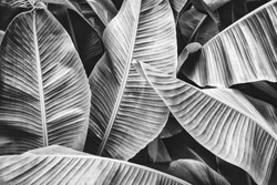 tropical jungle palm leaves, black and white of banana foliage background