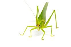 Tropical katydid on white background studio photo. Large grasshopper female isolated. Tropical insect macro photo. South Asia biodiversity. Green katydid with ovipositor and egg. Exotic entomology