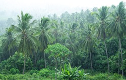 Tropical landscape of a coconut grove under heavy rain during the monsoon