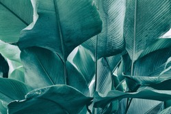 tropical leaf, big foliage in rainforest, nature background, blue toned process.