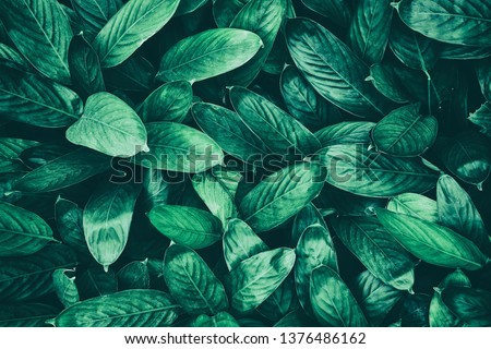 tropical leaf, dark green foliage in rain forest, nature background