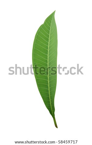 Tropical leaf isolated on white (frangipani) - path included