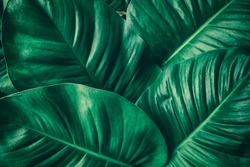 tropical leaf, large foliage, abstract green texture, nature background