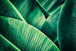 tropical leaf, large palm foliage, abstract green texture, nature background