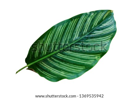 tropical leaf, lush exotic foliage isolated on white background, ornamental plant, clipping path included. #1369535942