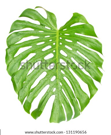 Tropical leaf of Monstera plant close up with water drops isolated on white