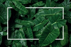 Tropical leaf pattern nature frame layout of heart shaped dark green leaves philodendron Burle Marx (Philodendron imbe), lush foliage plant on dark background with white frame border.
