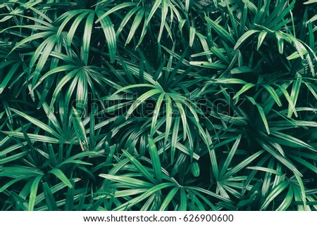 tropical leaf texture background, dark green foliage are shaped like tiny spikes #626900600
