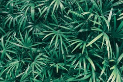 tropical leaf texture background, dark green leaves are shaped like tiny spikes