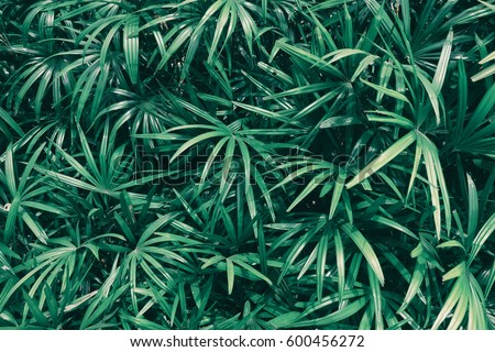 tropical leaf texture background, dark green leaves are shaped like tiny spikes #600456272