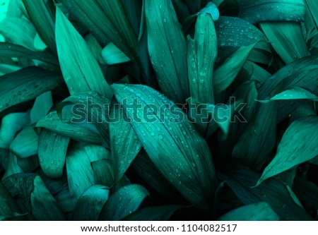 tropical leaf texture, large palm foliage nature background #1104082517