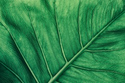 tropical leaf vein, dark green foliage texture, nature background
