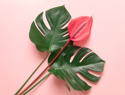 Tropical leaves and red flower of anthurium, the summer minimal background with a space for text. Flatlay style view from above.