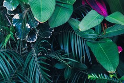 Tropical leaves in the garden, Green leaves of tropical forest plant for nature pattern and background, People grow plants with thick bushes to make fences. color dark flat lay tone for input text.