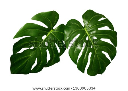 Tropical leaves isolated on white background, studio image. Big monstera leaf, summer wild foliage composition. #1303905334