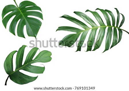 Tropical leaves nature frame layout of Monstera and split-leaf philodendron the exotic foliage plants isolated on white background, clipping path included. #769101349