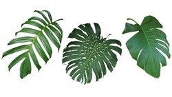 Tropical leaves set isolated on white background, clipping path included. Green leaves of Philodendron, Monstera, and Pothos the evergreen vine exotic plant.