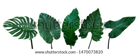 Tropical leaves set isolated on white background with clipping path, green leaves of Monstera, Alocasia, Anthurium, and Philodendrons the exotic foliage plants. #1470073820