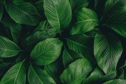 tropical leaves,(Spathiphyllum cannifolium)dark green foliage in jungle, nature background