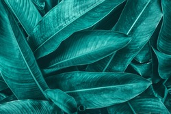 tropical leaves texture background, dark blue toned