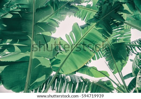 tropical leaves texture background, green banana branch on white background #594719939