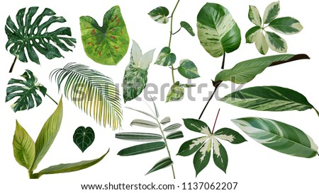 Tropical leaves variegated foliage exotic nature plants set isolated on white background, clipping path with plant common name included (Monstera, palm leaf, Devil's ivy, ginger, heliconia, bamboo)