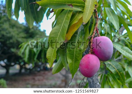 Tropical mango tree with big ripe mango fruits growing in orchard on Gran Canaria island, Spain, cultivation of mango fruits on plantation. #1251569827