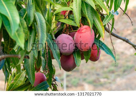 Tropical mango tree with big ripe mango fruits growing in orchard on Gran Canaria island, Spain, cultivation of mango fruits on plantation. #1317021770