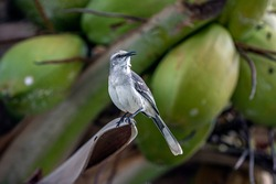 tropical mockingbird ,Mimus gilvus is a resident breeding bird from southern Mexico south to northern Brazil, and in the Lesser Antilles