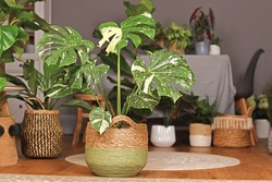 Tropical 'Monstera Deliciosa Thai Constellation' houseplant with beautiful white sprinkled varigated leaves in basket flower pot in living room with many plants in burry background
