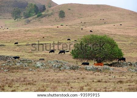 Tropical Mountain Landscape Cattle Maui Island Hawaii