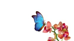 tropical nature. bright blue tropical morpho butterfly on colorful orchid flowers isolated on white. orchid flowers close-up. beautiful colorful orchids. tropical flowers