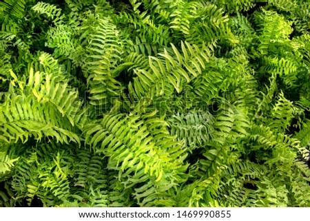 Tropical Nephrolepsis byserrata leaf( Tuber Sword Fern, Sword Fern)texture in garden,abstract nature green background. #1469990855