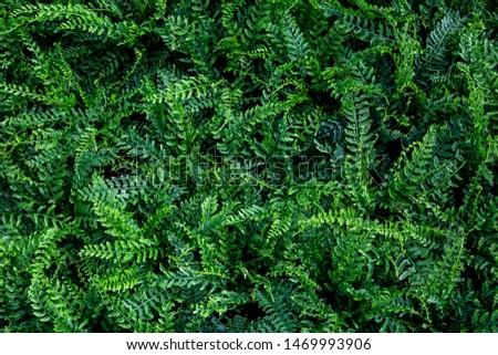 Tropical Nephrolepsis byserrata leaf( Tuber Sword Fern, Sword Fern)texture in garden,abstract nature green background. #1469993906