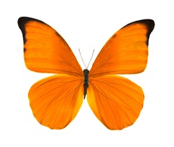 tropical orange butterfly isolated on white background