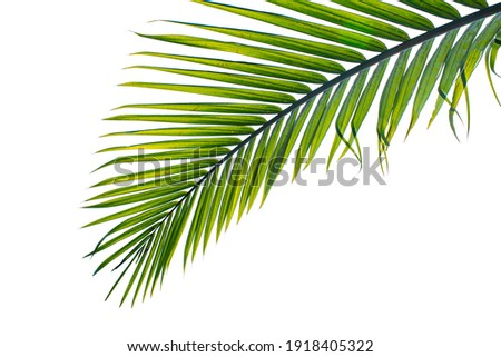 tropical palm leaf isolated on white background, clipping path included
