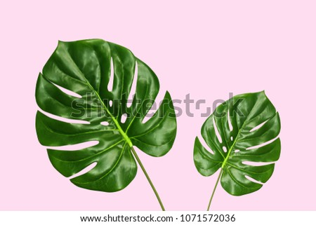 Tropical palm monstera leaves isolated on pink background, top view. Summer fresh foliage minimalistic concept.