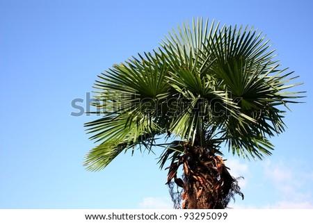 Tropical palm tree against a blue sky