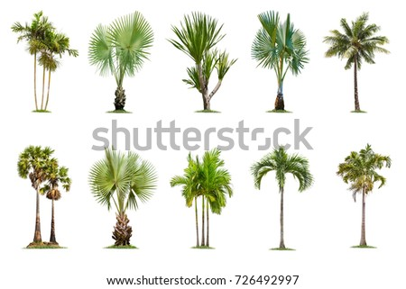 Tropical Palm Tree Isolated on white background , The collection of trees. - Shutterstock ID 726492997