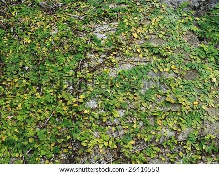 tropical parasite plant on rock