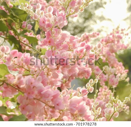 Tropical pink flowers and green leaves under the sunlight morning tropical pink flowers and green leaves under the sunlight morningantigonon leptopusmexican creeper mightylinksfo