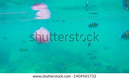 Tropical pink jellyfish with seafish swimming in the deep water sea, beautiful sea life picture.