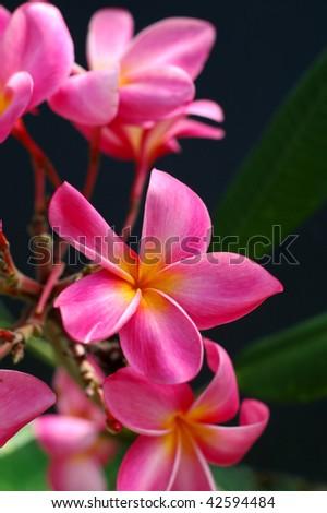 Tropical pink plumeria
