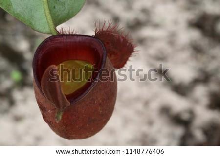 Tropical pitcher plants #1148776406