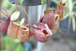 Tropical pitcher plants, pitcher plants in a greenhouse. Nepenthes ventrata, a tropical pitcher plants is a genus of carnivorous plants. Soft focus,Select focus