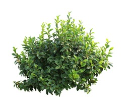 Tropical plant flower bush tree isolated on white background with clipping path