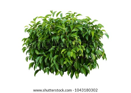Photo of  tropical plant flower bush tree  isolated on white background with clipping path,Ficus annulata